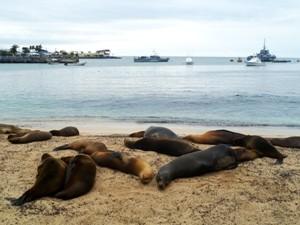 Seelöwen schlafen am Strand von San Cristobal