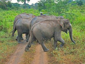Olifanten - Sri Lanka reis