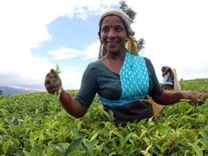 Sri Lanka rondreis - theevelden