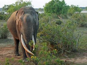 Sri Lanka - wilde olifanten