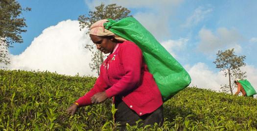 Sri Lanka rondreis theeheuvels