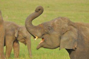 Sri Lanka - olifanten