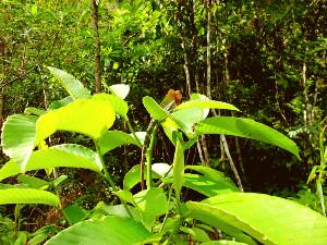 Sinharaja-regenwoud-kameloen
