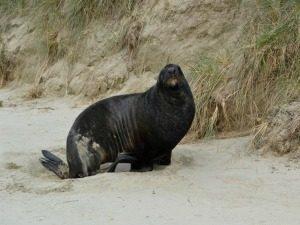 Catlins zeeleeuw
