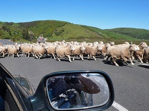 auto met schapen nieuw zeeland