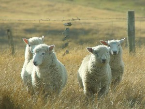 Slapen bij de schapen