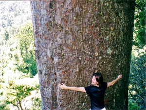 kauri boom nieuw zeeland