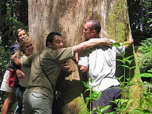 omhelzing kauri tree nieuw zeeland