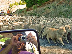 schapen op weg nieuw zeeland