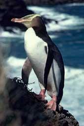yellow yed penguin nieuw zeeland