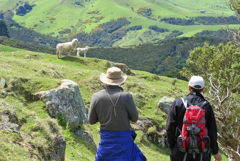 Schapen - Nieuw Zeeland reizen