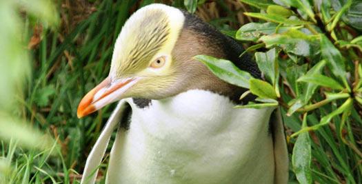 Reizen Nieuw Zeeland - Otago pinguin