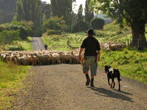 schapen tijdens whanganui rivier trip