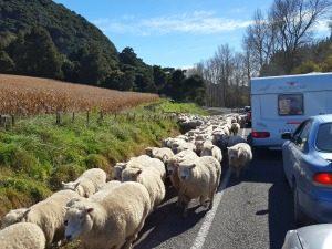 schapen nieuw-zeeland east cape