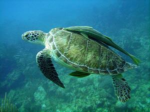zeeschildpad riviera maya mexico