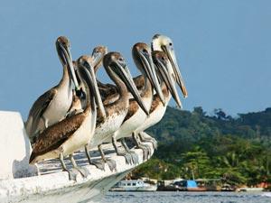 Pelikanen op de Rio Dulce