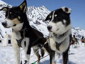 Hundeschlitten Copyright: Knik River