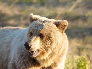 Ein Grizzly Bär Kluane Nationalpark