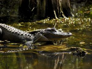 Ein Alligator lauert im Sumpf
