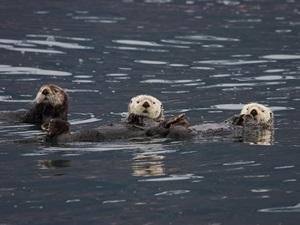 Otter im Prince William Sound