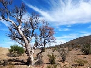 Baum in Baja California