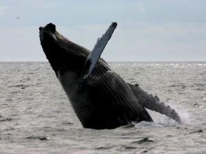 Whalewatching vor Cape Cod