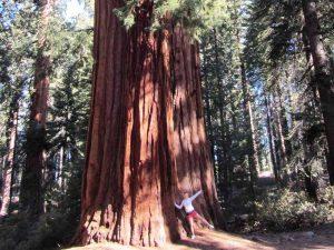 Gigantische Mammutbäume während Ihrer Kalifornien Rundreise im Sequoia Nationalpark