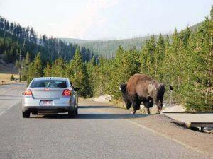 Ein Bison am Straßenrand im Yellowstone Park