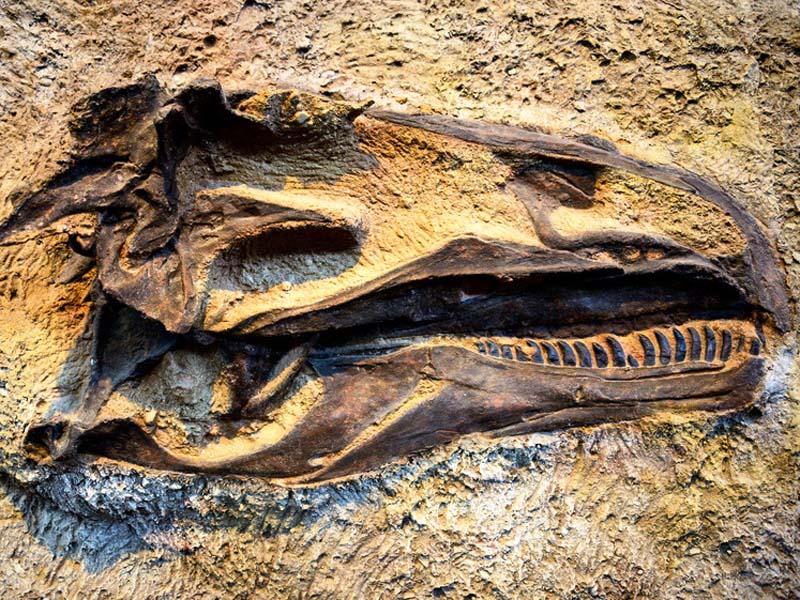 Ein Dinosaurierschädel
