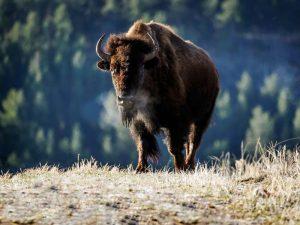 Ein Bison auf einer Weide