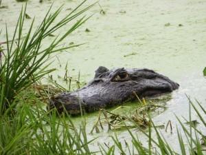 Kaiman im Sumpf des Feuchtgebiets Pantanal in Brasilien