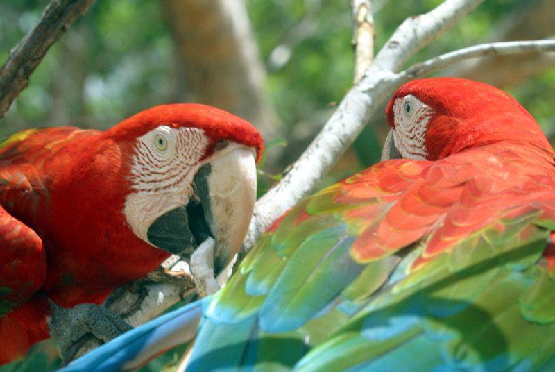 brasilien-amazonas-papagei
