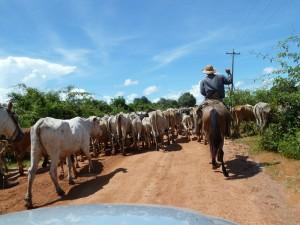 Rinderherde mit Viehtreiber
