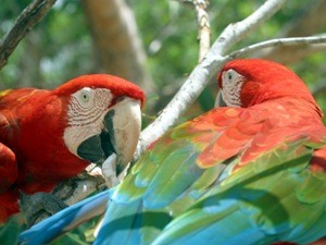 Zwei rote Aras