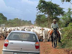 Cowboy treibt Rinderherde im Pantanal