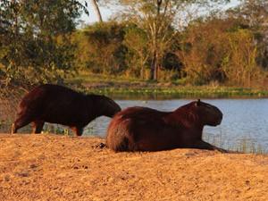 Capibaras liegen am Seeufer
