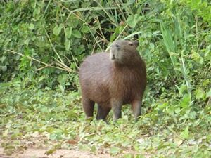 capibara_gross