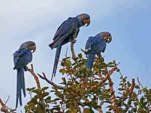 Aras im Pantanal