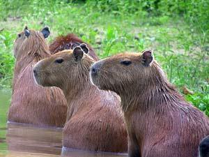 Bolivia en Peru rondreis - Capibara