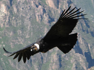Closeup condor Colca Canyon