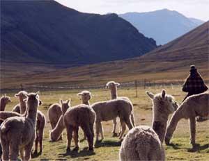 Alpaca's - Peru en Bolivia reis