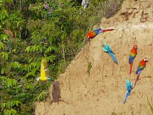 Papagaai Amazone - Peru rondreis