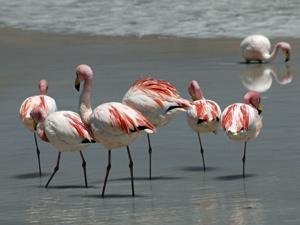 Peru en Bolivia rondreis flamingo