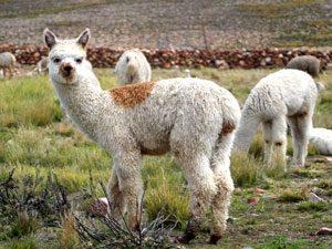 peru-reis-alpaca-kl