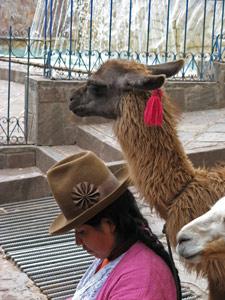Lama - rondreis Peru