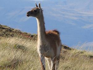 hoogteziekte Peru lama