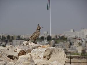 Jordanien Amman Ein Wiedehopf vor der jordanischen Flagge in Amman