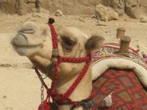 Nahaufnahme von Kamel