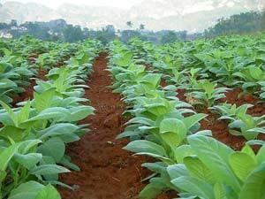 Tabakfeld in Vinales