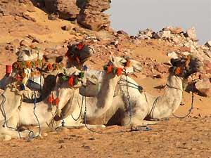 aegypten-kairo-kamele